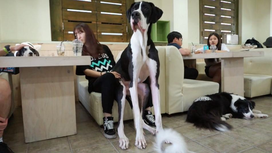 Que tal ir numa cafeteria cheia de cachorros? (Foto: Reprodução / The Dog Cafe Site)