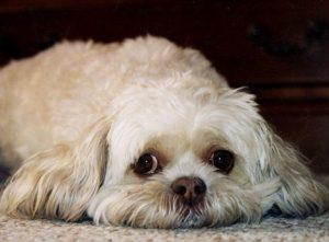 Colapso de Traquéia em cães. Foto: Reprodução