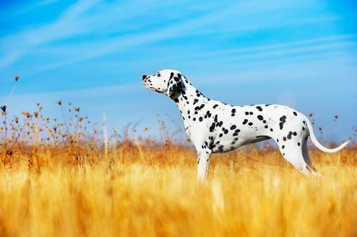Dálmata (Foto: Reprodução / The I Love Dogs Site)