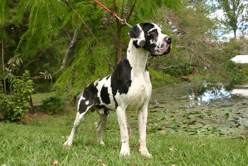Dog Alemão (Foto: Reprodução / The I Love Dogs Site)