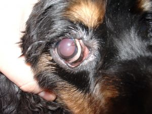 Ectrópio Palpebrar em cães. Foto: Reprodução
