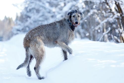 Galgo Irlandês (Foto: Reprodução / The I Love Dogs Site)