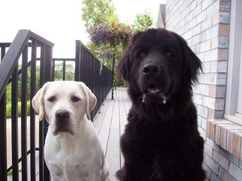 Labrador e Terra Nova. (Foto: Reprodução / Google)