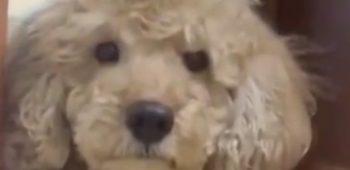 poodle-encarando-video-engracado