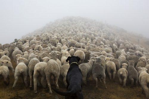 Pastoreio na Nova Zelândia. Foto: Andrew Fladeboe