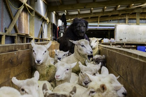 Scooter trabalhando com ovelhas. Foto: Andrew Fladeboe