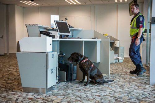 Cão trabalhando como detector de explosivos. Foto: Andrew Fladeboe