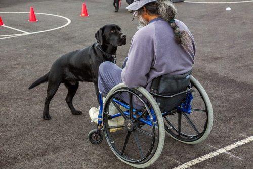 Cachorro auxiliando tutor com problemas de mobilidade. Foto: Andrew Fladeboe
