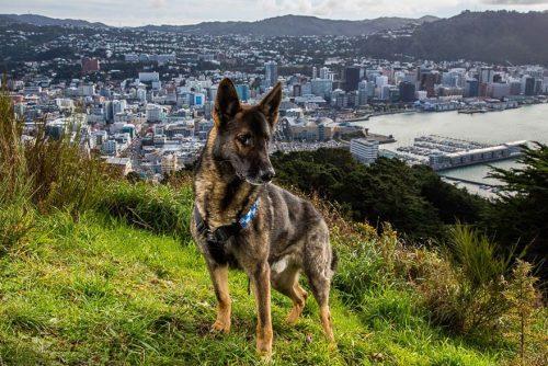 Cachorro policial no Reino Unido. Foto: Andrew Fladeboe