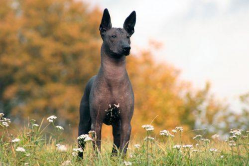 Xoloitzcuintli (Foto: Reprodução / Google)