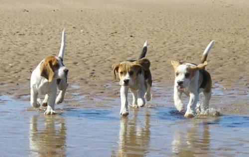 Beagle (Foto: Reprodução / Google)
