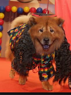 O chow chow fantasiado de Leão Rastafari venceu na categoria Originalidade. (Foto: Reprodução / Facebook / Shopping Pátio Higienópolis)