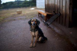 Cães no Chile enfrentam medida arbitrária e cruel do governo. Foto: Reprodução