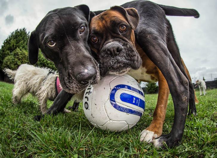"""1º lugar na categoria """"Cachorros Brincando"""" - Art Burasz do Reino Unido (Foto: Reprodução / The Kennel Club)"""