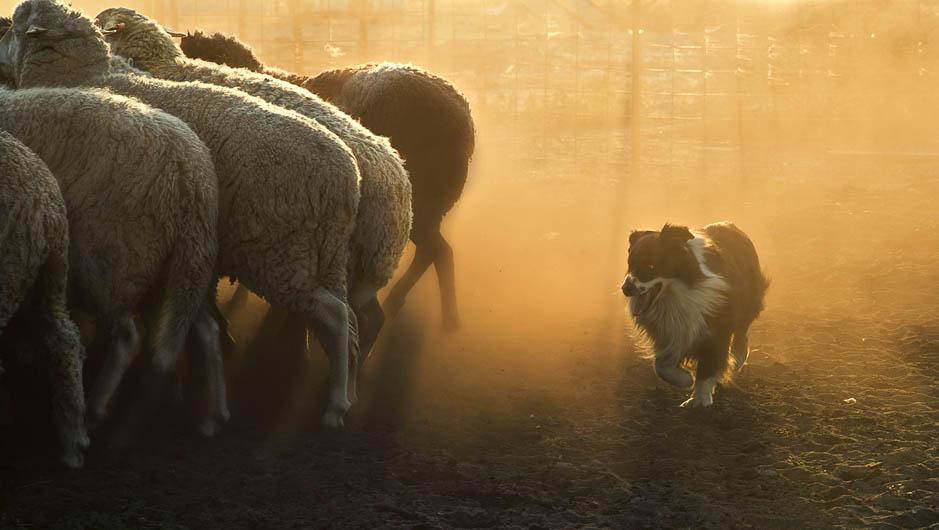 """Vencedor geral e 1º lugar na categoria """"Cachorros no Trabalho"""" - Steph Gibson da Austrália (Foto: Reprodução / The Kennel Club)"""
