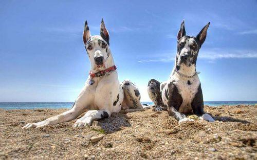 Dog Alemão (Foto: Reprodução / Google)