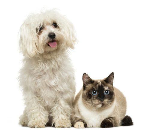Maltês (Foto: Reprodução / The I Love Dogs Site)
