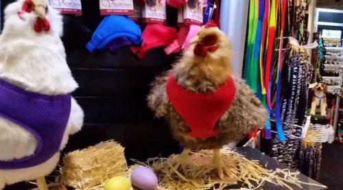 Coleira para galinha. (Foto: Divulgação)