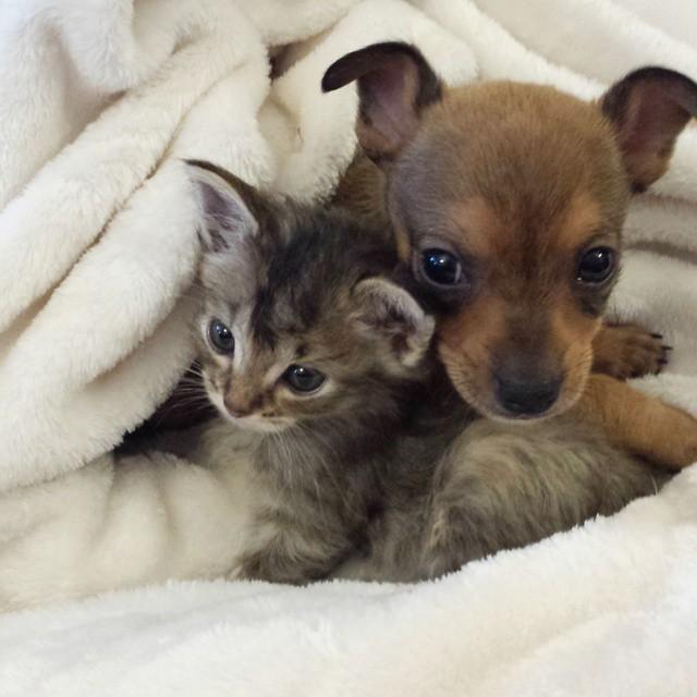 A gatinha Adele e o cachorrinho Chip vivem grudados. (Foto: Reprodução / Facebook)