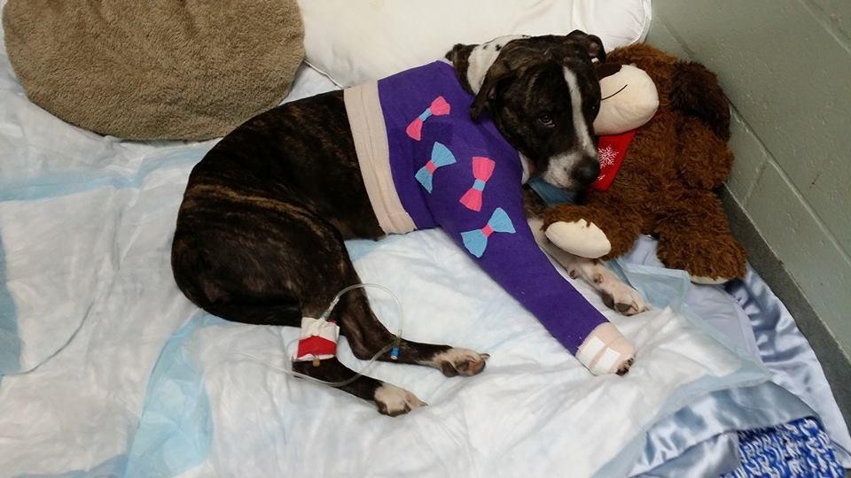 A cachorra se recuperando da cirurgia. (Foto: Reprodução / Facebook / Tampa Bay Veterinary Emergence Service)