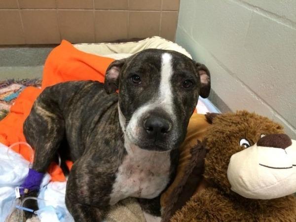A cachorra Cabela quando chegou ao hospital. (Foto: Reprodução / Bark Post)