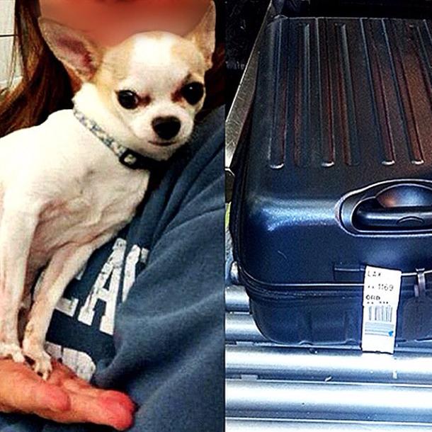 Chihuahua encontrado dentro de mala despachada no aeroporto La Guardia. (Foto: Reprodução / Instagram / TSA)