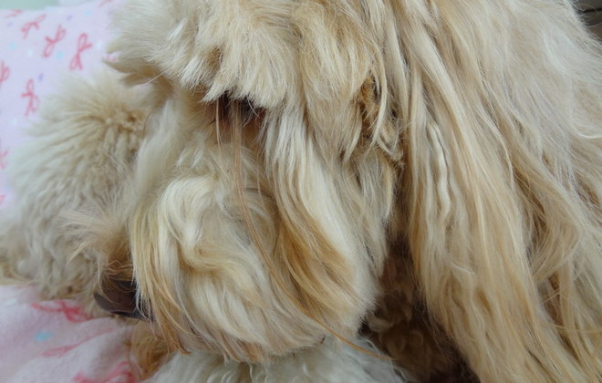 O cão Ranmaru tem os cílios mais compridos do mundo. (Foto: Reprodução / Guinness World Records)