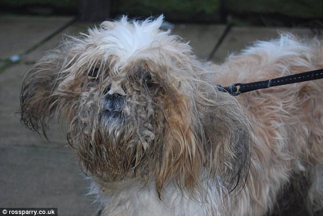 O cão foi abandonado com os pelos embaraçados e cheios de gasolina. (Foto: Reprodução / Daily Mail UK)