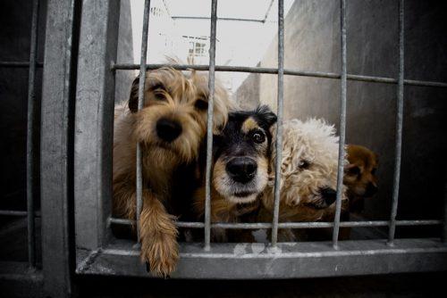 Cães a espera de adoção. Foto: Reprodução.