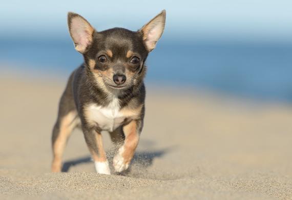 Chihuahua (Foto: Reprodução / Pet MD)