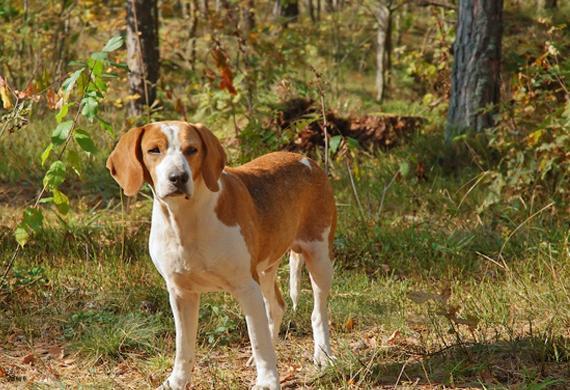 Foxhound (Foto: Reprodução / Pet MD)