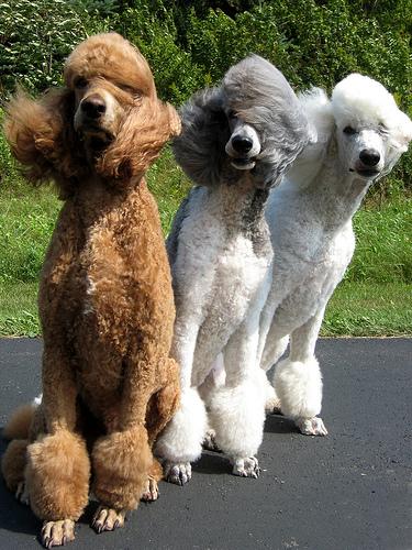 Poodle Grande (Foto: Reprodução / Google)