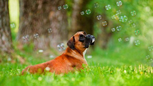 O Boxer Baba Muito Boxer - Portal do Dog ...