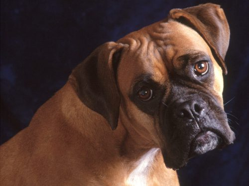 O Boxer Baba Boxer - Portal do Dog ...