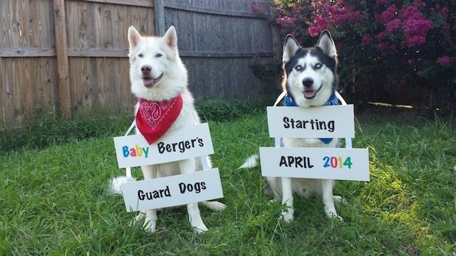 """Tradução: """"Cães de guarda do bebê dos Bergers. Começamos em abril de 2014."""""""