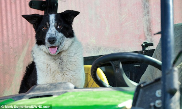 O border collie Don aprontou e deu um grande susto em seu tutor. (Foto: Reprodução / Daily Mail UK)