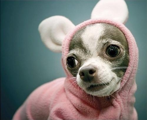 cachorro-fantasia-coelho-06