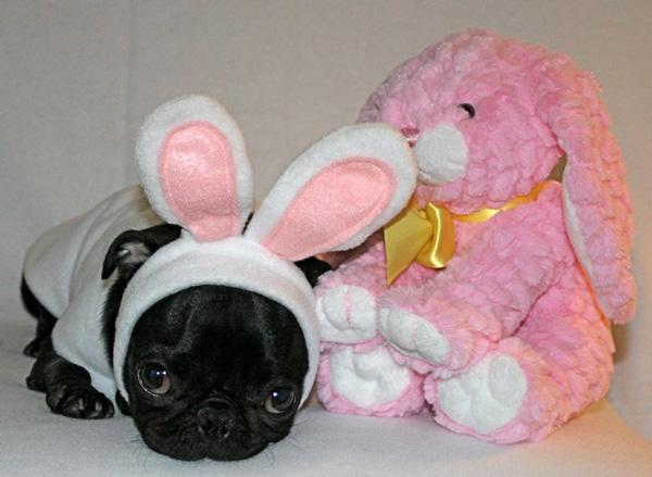 cachorro-fantasia-coelho-08