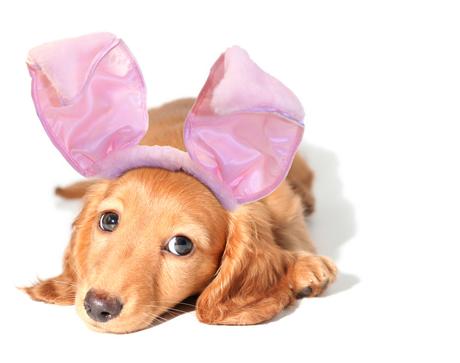cachorro-fantasia-coelho-15