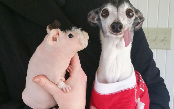 cachorro-porquinho-da-india-03