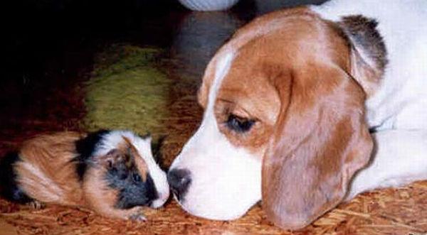 cachorro-porquinho-da-india-10