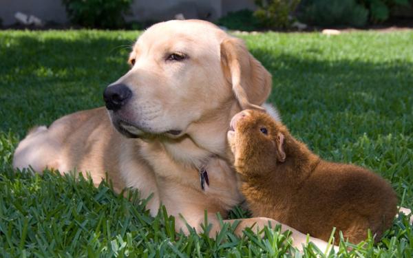 cachorro-porquinho-da-india-11