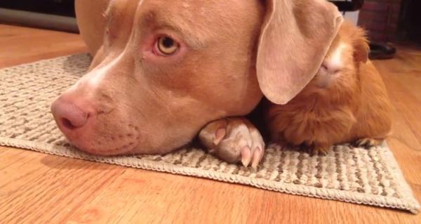 cachorro-porquinho-da-india-14