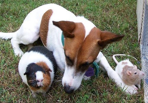 cachorro-porquinho-da-india-15