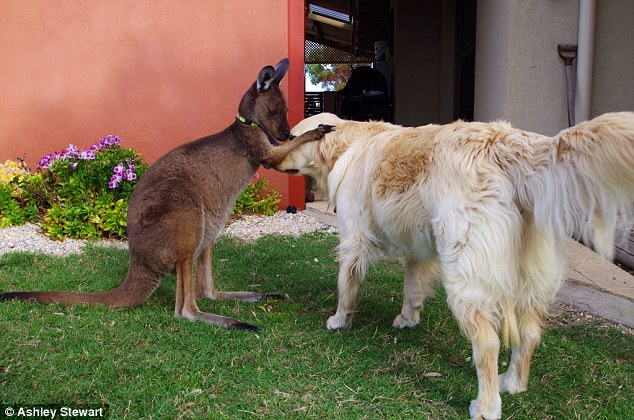 O canguru Dusty fazenda carinho em uma de suas irmãs. (Foto: Reprodução / Daily Mail UK)