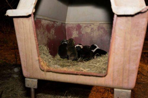 Os filhotes de Nina. (Foto: Reprodução / Facebook /  Carolina Waterfowl Rescue Society)