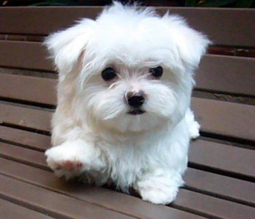 Toy Dog Breeds That Stay Small : Maltês portal do dog para quem ama cachorros