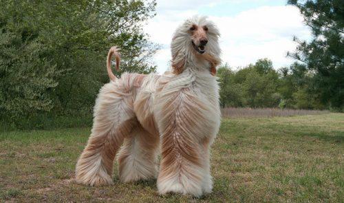 manutencao-pelo-pelagem-cachorro-cuidados-saude