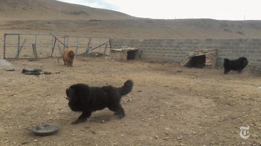 Cachorros da raça que foram resgatados por um grupo de ativistas. (Foto: Reprodução / New York Times)