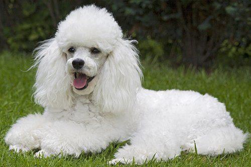 Poodle (Foto: Reprodução / Google)